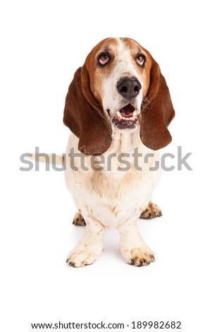 A cute Basset Hound dog sitting and drooling  - stock photo