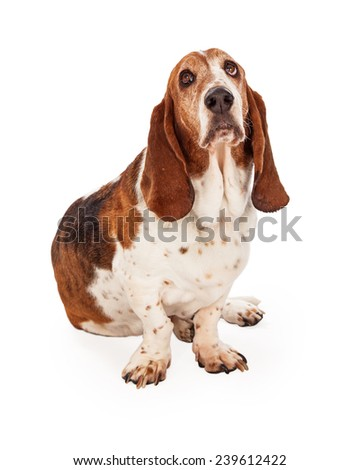 A cute Basset Hound dog sitting looking up at the sky - stock photo