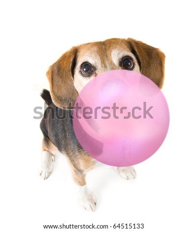 a cute beagle blowing a bubble