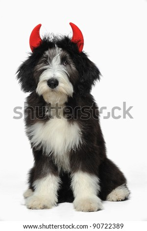 A cute bearded collie puppy wearing red devil's horns vertical - stock photo
