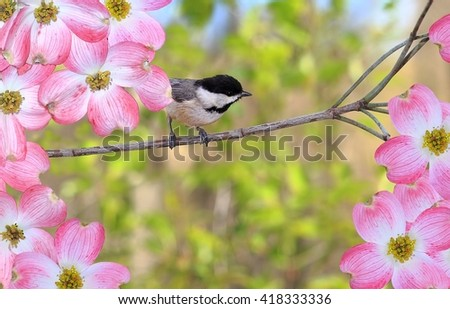 A cute Black- capped Chickadee (Poecile atricapillus) at pink dogwood blossoms. - stock photo