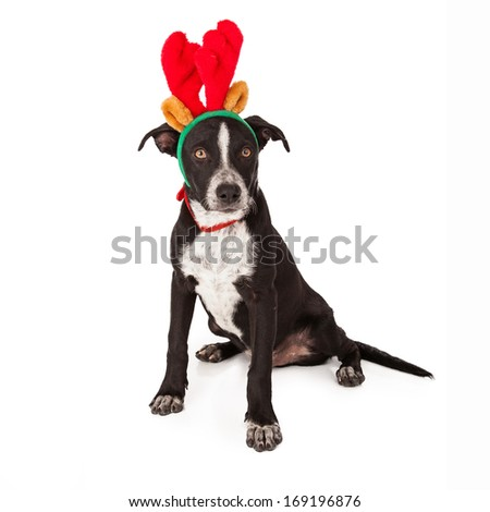 A cute black crossbreed puppy wearing a reindeer antler headband and red collar
