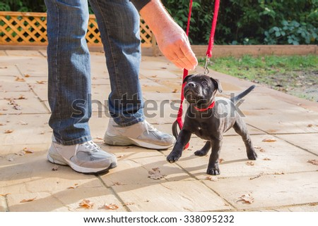 A cute black Staffordshire bull terrier puppy with a red collar and red leash, standing on three legs, being trained by a man in jeans and trainers holding a treat for the puppy. Dog training. - stock photo
