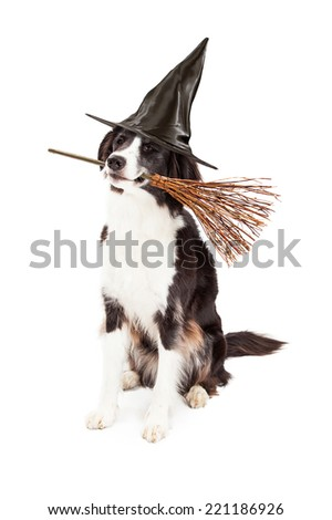 A cute Border Collie dog wearing a black witch hat while holding a wicker broom in his mouth to celebrate Halloween - stock photo