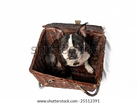 A cute Boston Terrier in a basket with a white background. - stock photo