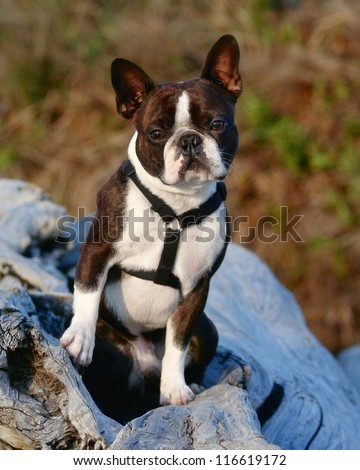 a cute boston terrier with a harness on, sitting on a log - stock photo
