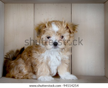 A cute brown puppy is sitting with a cute look on his face in front of some light colored wood paneling. - stock photo
