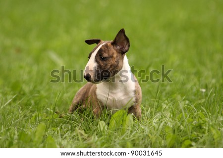 a cute bull terrier puppy is sitting in green grass and watching others - stock photo