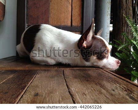 a cute chihuahua - stock photo