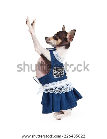 A cute Chihuahua Dog dressed in a beautiful blue dress with white lace.  - stock photo