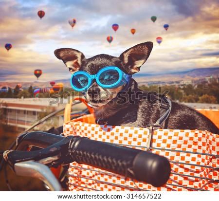 a cute chihuahua in a bike basket with goggles on in front of a background full of hot air balloons during summer time toned with a retro vintage instagram filter app or action effect (SHALLOW DOF) - stock photo