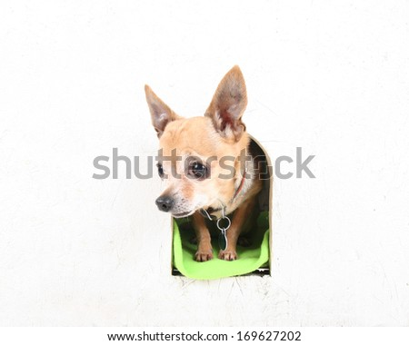 a cute chihuahua in a dog house  - stock photo