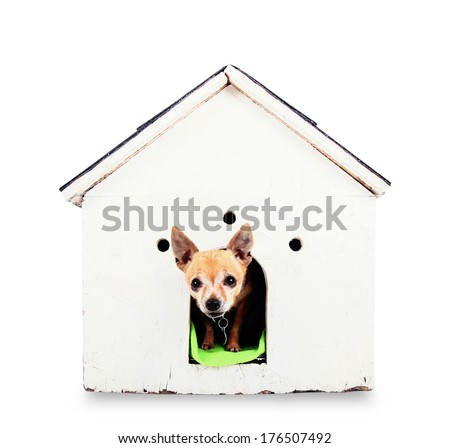 a cute chihuahua in a dog house on a gray background - stock photo
