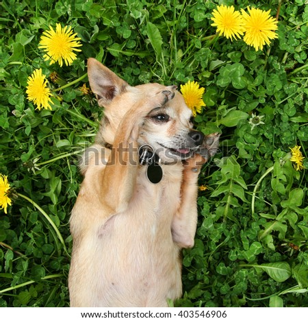 a cute chihuahua in a pet bed the grass outside in a park or backyard lawn  - stock photo