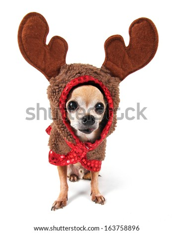 a cute chihuahua in a reindeer costume with large eyes