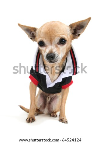 a cute chihuahua in a tiny shirt - stock photo