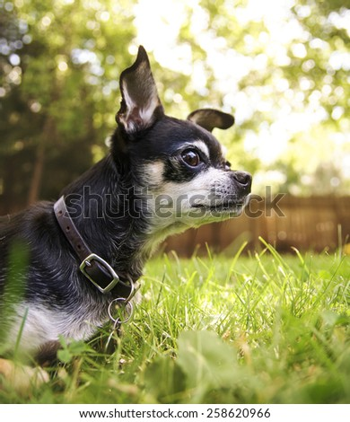 a cute chihuahua in the grass looking alert  - stock photo