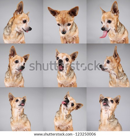 a cute chihuahua making a funny face - stock photo