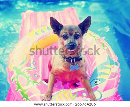 a cute chihuahua mix sitting in a blow up tube in a pool during summer toned with a retro vintage instagram filter effect app or action  - stock photo