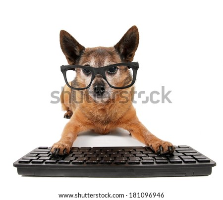 a cute chihuahua mix wearing glasses with his paws on a computer - stock photo