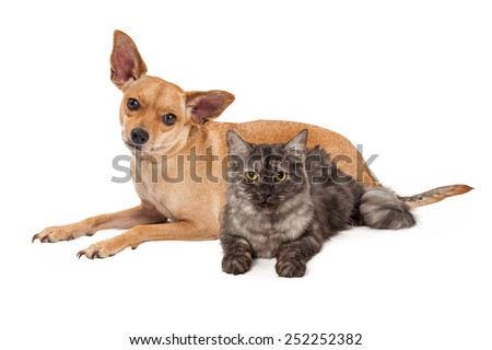 A cute Chihuahua mixed breed dog and little kitten laying together - stock photo