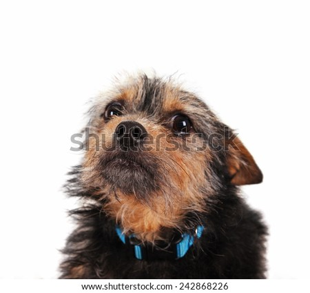 a cute chihuahua mixed breed dog isolated on a white background - stock photo