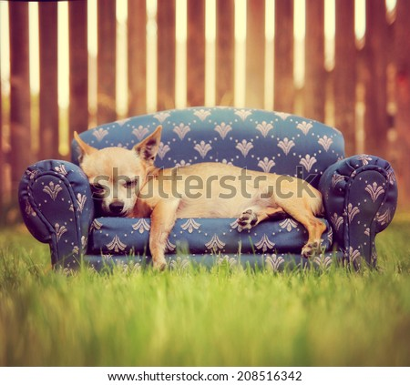 a cute chihuahua napping on a couch toned with a retro vintage instagram filter - stock photo