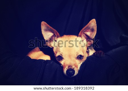 a cute chihuahua on a black background done with a retro vintage instagram filter  - stock photo