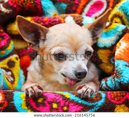 a cute chihuahua on a retro vintage paisley microfiber fleece throw - stock photo