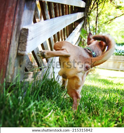 a cute chihuahua peeing on a gazebo lattice outdoors on a summer day - stock photo