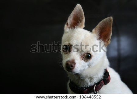 a cute chihuahua posing for the camera - stock photo