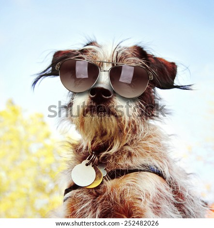 a cute chihuahua terrier mix with sunglasses on at a park or backyard  - stock photo