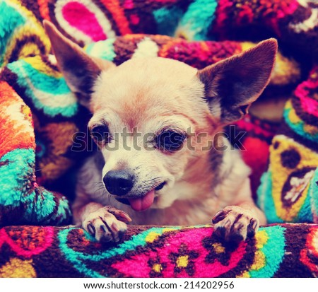 a cute chihuahua toned with a retro vintage instagram filter effect - stock photo