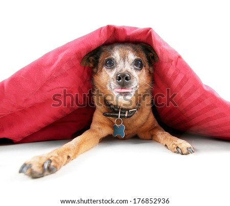 a cute chihuahua under the covers - stock photo