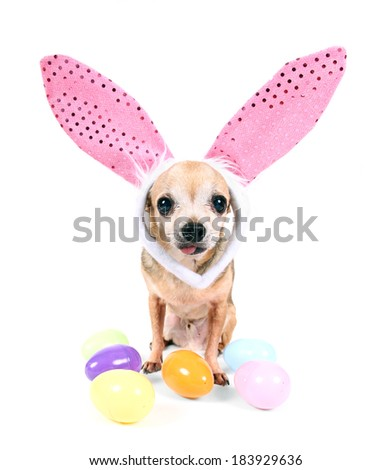 a cute chihuahua wearing rabbit ears surrounded by colorful easter eggs on an isolated white background - stock photo