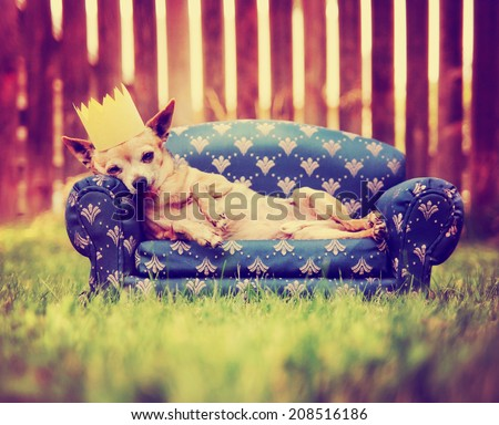 a cute chihuahua with a crown on napping on a couch toned with a retro vintage instagram filter - stock photo