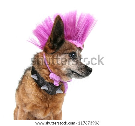 a cute chihuahua with a mohawk punker hairdo - stock photo