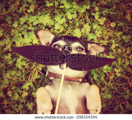 a cute chihuahua with a mustache toned with a retro vintage instagram filter (from the mustache series) - stock photo