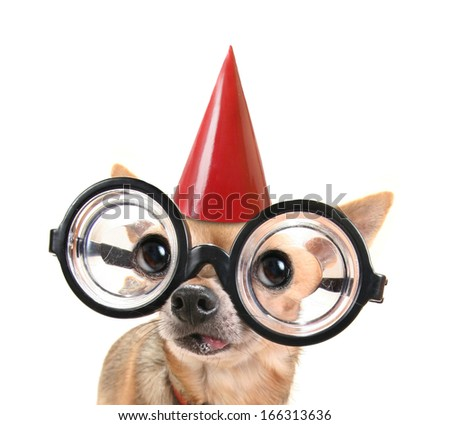 a cute chihuahua with giant glasses on - stock photo