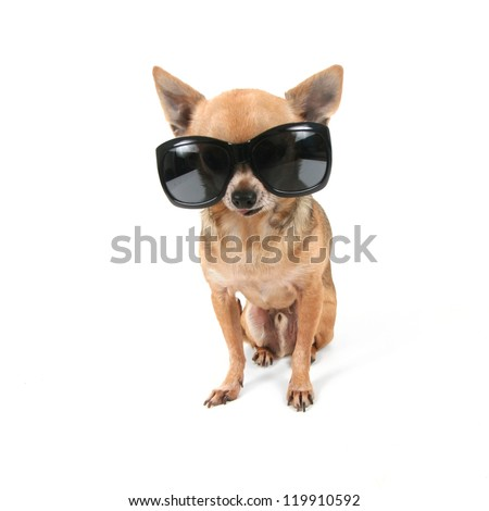a cute chihuahua with sunglasses on - stock photo
