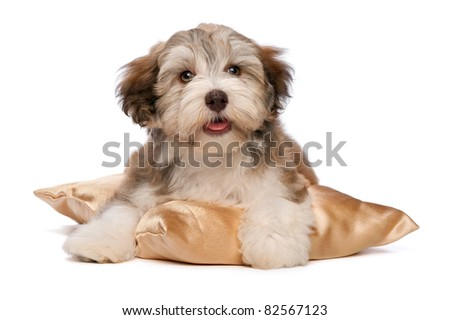 A cute chocolate havanese puppy dog on a gold cushion isolated on white background - stock photo
