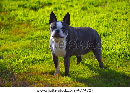 A cute dog looking at the camera in the lawn