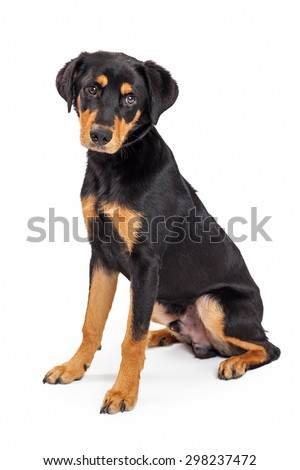 A cute eight month old Rottweiler and Labrador Retriever mixed breed puppy dog sitting on a white background - stock photo