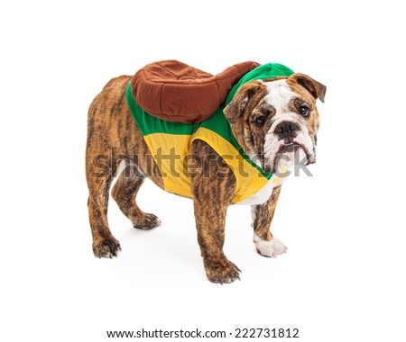 A cute English Bulldog standing to the side while wearing a turtle costume