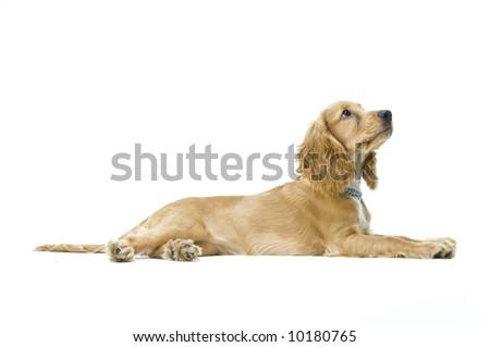A cute English cocker spaniel in the studio - stock photo