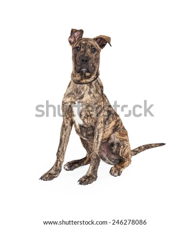 A cute four month old Great Dane And Boxer Mixed Breed Puppy Dog sitting while looking into the camera.  - stock photo