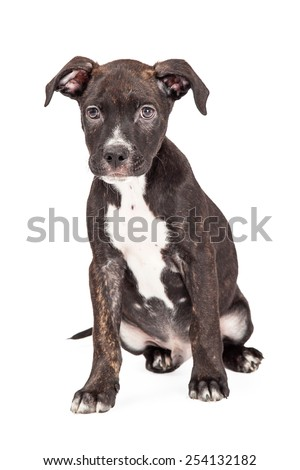 A cute four month old Staffordshire Bull Terrier Mixed Breed Puppy sitting while looking into the camera.  - stock photo