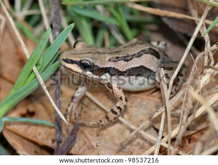 A cute frog in leaf litter and grass - Western or Boreal Chorus Frog, Pseudacris triseriata or maculata - stock photo