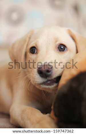 A cute golden labrador puppy biting on her toy whilst looking away from the camera.