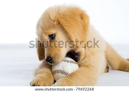 a cute Golden Retriever Puppy with a baseball. - stock photo